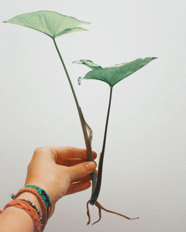greenishshop Zimmerpflanzen Dschungel Grüner Daumen Pflanzenpflege Instagram Inspiration